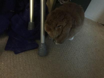 rabbit munching on crutches